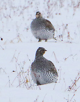 Sharp-tailed grouse males on lek