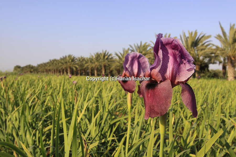 Israel, Beth Shean Valley, a field of Iris flowers in Kibbutz Tirat Zvi