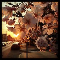 The setting sun illuminates cherry blossoms along Christian Street in the Bella Vista section of Philadelphia on April 9, 2013.