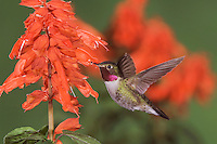 Broad-tailed Hummingbird, Selasphorus platycercus,male in flight feeding on Red Salvia (Salvia splendens),Rocky Mountain National Park, Colorado, USA