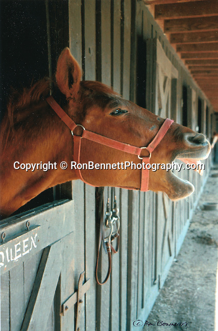 Laughing horse in stable, Horse, laughing horse, laughing horse in stall, horse laugh, brown horse, smiling horse, talking horse, happy horse, horse play, Fine Art Photography by Ron Bennett, Fine Art, Fine Art photography, Art Photography, Copyright RonBennettPhotography.com ©