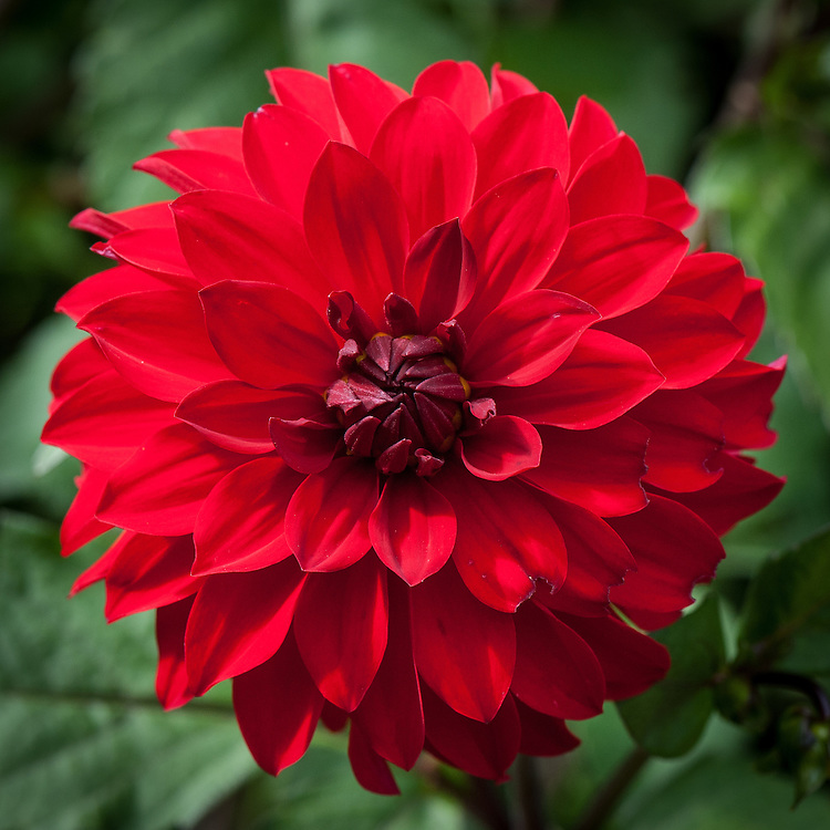 Dahlia 'Grenadier', early August. A neat, double, small decorative dahlia, flowering from early July.