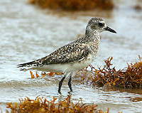 Adult black-bellied plover in non-breeding plumage