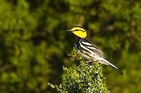 591850025 a wild federally endangered male golden-cheeked warbler setophaga chrysoparia - was dendroica chrysoparia - perches in a fir tree on los madrones ranch near austin travis county texas