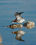 Wilson's Phalarope (Phalaropus tricolor), female stretching its wing and foot, perched on small tufa outcrop in the water, Mono Lake, California, USA