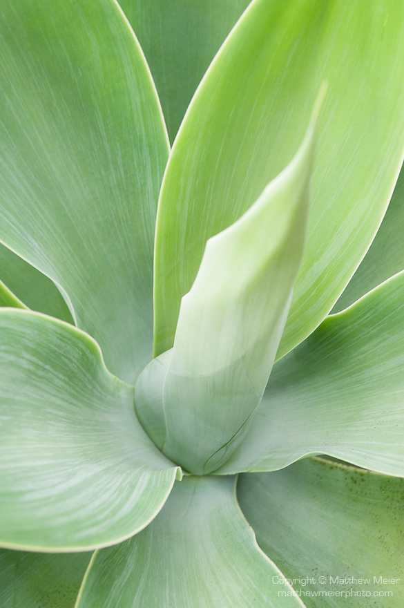 La Jolla, San Diego, California; a detail view of the leaf pattern of an Agave (Agave attenuata) plant