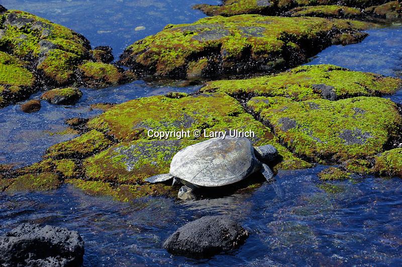 Green sea turtle (Honu), Honokohau Bay<br /> Kaloko-Honokohau National Historical Park<br /> North Kona<br /> Island of Hawaii, Hawaii
