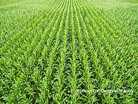 63801-09703 Corn field - aerial - Marion Co. IL