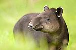 Baird's Tapir (Tapirus bairdii), Costa Rica