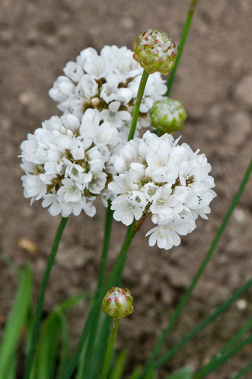 Armeria pseudarmeria 'Ballerina White', mid August.' (syn. A. latifolia and A. atrosanguinea of gardens). An evergreen subshrub native to the coast of western Portugal.