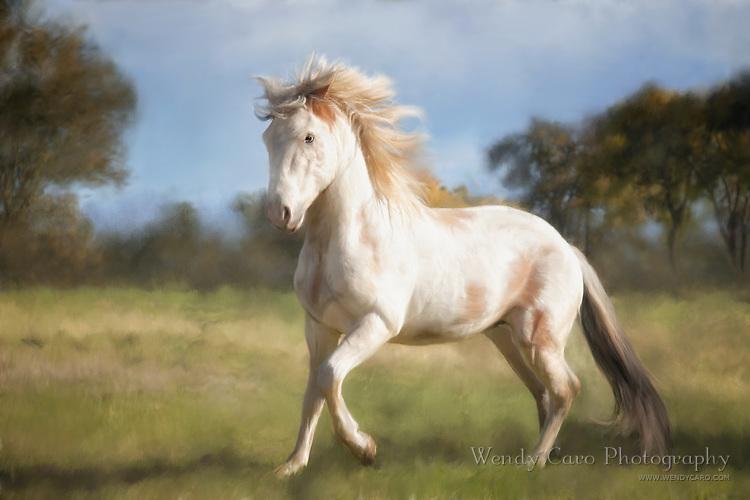 White Peruvian Paso Fino stallion, at liberty, galloping in field