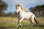 White Peruvian Paso Fino stallion, at liberty, galloping in field