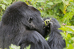 Mountian Gorilla Eating