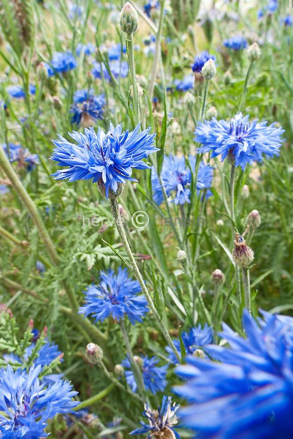Bleuet (Centaurea cyanus) // Bluet, Centaurea cyanus