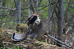 Ruffed grouse (Bonasa umbellus) drumming his wings to attract mate
