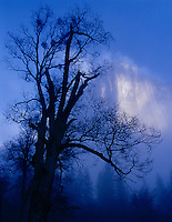 Silhouetted oak and El Capitan in lifting fog, El Capitan Meadow, Yosemite Valley,Mist