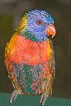 A wet Rainbow Lorikeet changes colour because of the differences in feather types- either pigment-related or structure-related. In this lorikeet the colour of predominantly green feathers , such as on the back and wings, comes mainly from the micro-structure of the feather barbules that interferes with light wavelengths changing one colour to another; When molecules of water in the rain fill in the micro-structures of the barbules the appearance of the green colour alters to brown. Pigment-based feathers are not affected, unless they have both pigmented and structural attributes. When dry this bird will return to its normal gaudy plumage.  // Rainbow Lorikeet - Psittacidae: Trichosurus haematodus. Length to 30cm; wingspan to 45cm; weight to 150g; Found in northern and eastern Australia from the Kimberley Region in northern Western Australia (Red-collared Lorikeet) to eastern Siouth Australia. Occurs in forests, woodlands, heath, and rural and urban areas. Aviary-escapees are established in many towns and cities. Widespread with many subpsecies - often with a different name - from eastern Indonesia through New Guinea east to Vanuatu and New Caledonia, north to the Manus and the Admiralty Islands (The Philippines form is under review as the taxonomy of the group is not yet finalised).