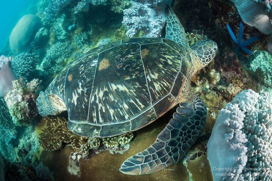 Apo Island, Dauin, Negros Oriental, Philippines; a green sea turtle resting amongst soft corals on the reef has a large bite taken out of it's shell near the rear flipper