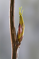 Balsam-Pappel, Balsampappel, Pappel, Knospe, Knospen, Pappelknospe, Pappelknospen, Populus spec., balsam poplar, bud, buds