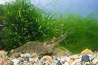 Sägegarnele, Gewöhnliche Felsengarnele, Sägergarnele, Garnele, Garnelen, Palaemon serratus, Palaemon rostratus, Palaemon trillianus, Leander serratus, common prawn, crevette bouquet, crevette rose