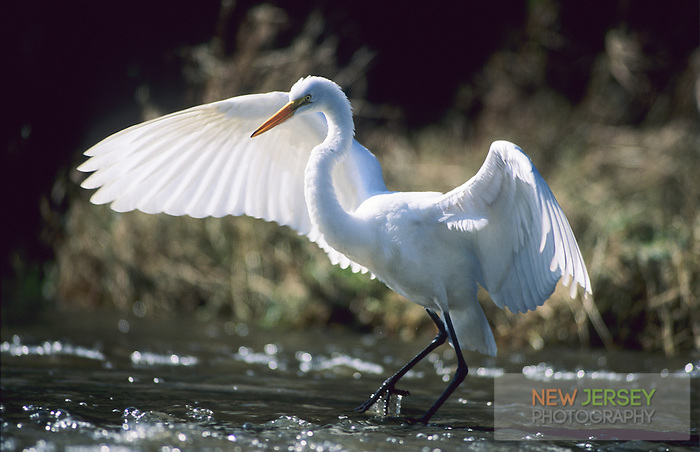 Great Egret, Strawbridge Lake, New Jersey