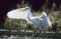Great Egret, Strawbridge Lake, New Jersey