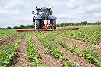 Weed wiping weeds in parsnips applying Glyphosate - Norfolk, July