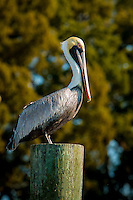 A pelican sitting on a pier post in St. Marys Georgia.