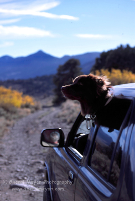 Dog hanging out the window on a desert back road in Alpine County California