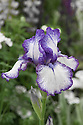 Iris 'Bold Print', mid May. An intermediate bearded iris with purple-edged, white flowers.