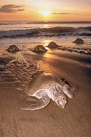 olive ridley sea turtles, Lepidochelys olivacea, on nesting beach, Costa Rica, Pacific Ocean