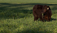 FORT MCCOY, FLA. - FEBRUARY 25, 2012: Grass fed and artificial hormone free cattle graze on pasture land near Fort McCoy, Florida on February 25, 2012. Photo by Matt May