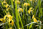 Iris pseudacorus yellow flag iris plant flowering