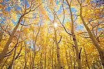 USA, California, Sierra Nevada Mountains.   Fall colors of Aspen trees.