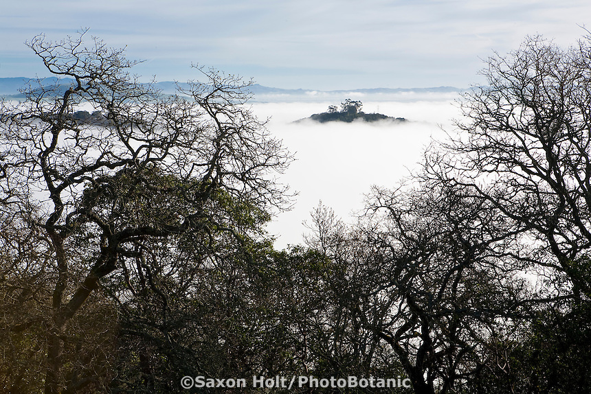Island in the fog, Petaluma Marsh Open Space seen over Oak trees, foggy spring morning on top of Cherry Hill Novato, California