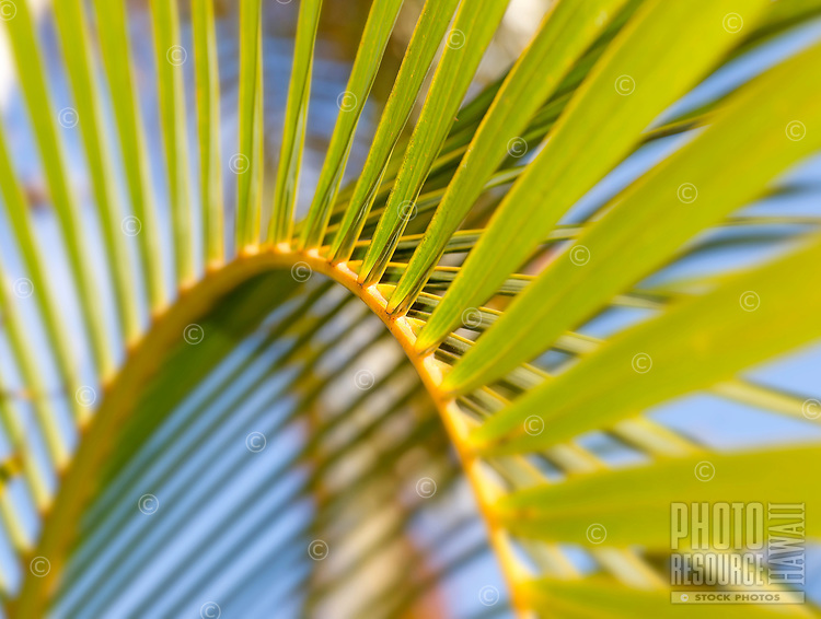 A close-up of a palm tree frond in Hawai'i.