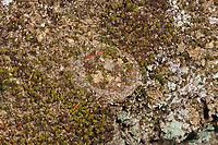 Braune Falltürspinne, Falltür-Spinne, geschlossener Deckel zur Röhre, Nemesia spec., funnel-web tarantula, Tube Trapdoor Spider, Braune Falltürspinnen, Nemesiidae, funnel-web tarantulas, Tube Trapdoor Spiders