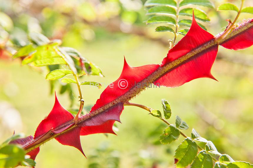 rosier à épines ailées, Rosa sericea fo. pteracantha // Winged Rose, Rosa sericea fo. pteracantha, thorns