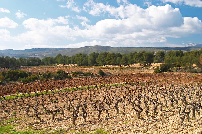 View over the vineyard in spring towards the Ste Baume mountains, goblet training. Grenache Domaine de la Tour du Bon Le Castellet Bandol Var Cote d'Azur France