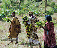 Farmer collecting Combretum micrantum against hypertension