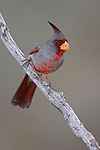 Pyrrholoxia (Cardinalis sinuatus) perched on a branch, Texas, USA.
