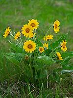 Yellow sunflowers basking in the sun at Montana National Bison Range