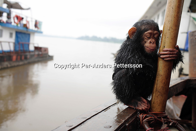 KISANGANI, DEMOCRATIC REPUBLIC OF CONGO MARCH 4: Dola, a chimpanzee, holds a pole after being washed by crewmembers on March 4, 2006 in Kisangani, in Congo, DRC. Dola was bought for US$ 25 by crewmembers. The aninal died a few days later from an unknown disease. Many animals are taken to Kinshasa and sold as pets or for the meat. The Congo River is a lifeline for millions of people, who depend on it for transport and trade. The journey from Kisangani to Kinshasa is about 1750 kilometers, and it takes from 3-7 weeks on the river, depending on the boat. During the Mobuto era, big boats run by the state company ONATRA dominated the traffic on the river. These boats had cabins and restaurants etc. All the boats are now private and are mainly barges that transport goods. The crews sell tickets to passengers who travel in very bad conditions, mixing passengers with animals, goods and only about two toilets for five hundred passengers. The conditions on the boats often resemble conditions in a refugee camp. Congo is planning to hold general elections by July 2006, the first democratic elections in forty years..(Photo by Per-Anders Pettersson/Getty Images)...