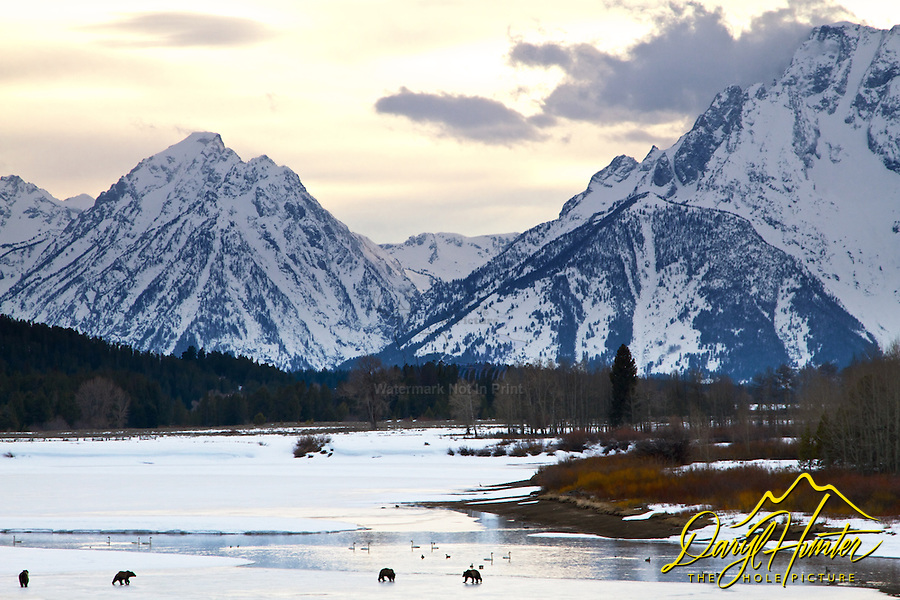 Grizzly sow 610 and cubs beneath the Grand Tetons in Grand Teton National Park.