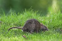 Wanderratte, Wander-Ratte, Ratte, Rattus norvegicus, Common Rat, Rat surmulot