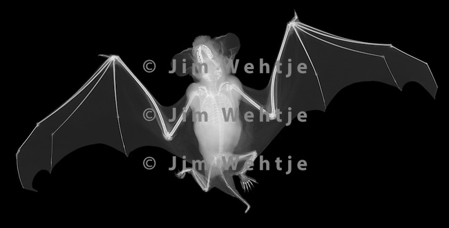 X-ray image of a little brown bat (white on black) by Jim Wehtje, specialist in x-ray art and design images.