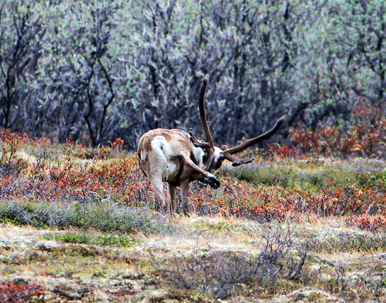 Caribou bull scratching an itch