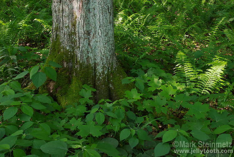 Ferns, wildflower foliage, and tree saplings compose a rich herbaceous layer surrounding a Sugar Maple (Acer saccharum) tree trunk covered in moss and lichen on its north-facing side. Shades State Park, Indiana, USA