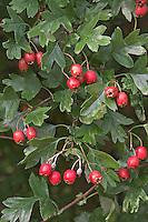 Eingriffliger Weißdorn, Weissdorn, Früchte, Crataegus monogyna, English Hawthorn, May, Aubépine monogyne