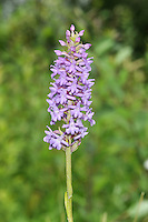 MARSH FRAGRANT-ORCHID Gymnadenia densiflora. Similar to Chalk Fragrant-orchid G. conopsea but grows in marshes.